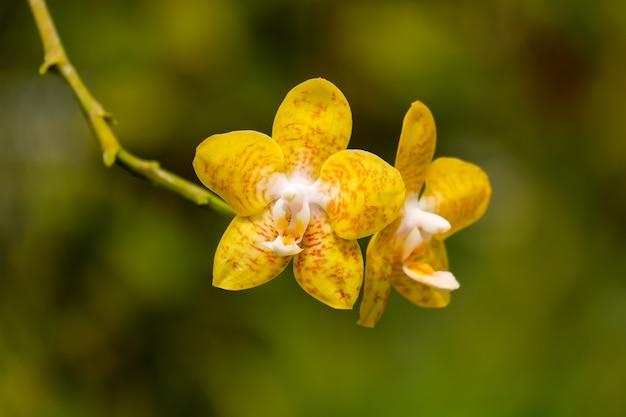 Phalaenopsis lub żółty kwiat orchidei zbliżenie z rodziny orchidaceae w tropikalnym ogrodzie