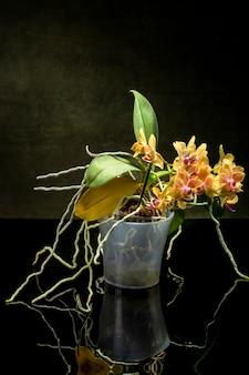 Phalaenopsis orchid bush w doniczce na ciemnej powierzchni