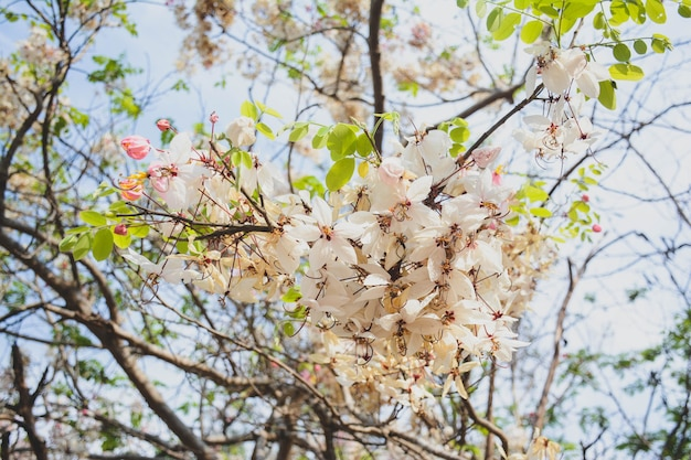 Phaya sua kwiat, prunus cerasoides, prunus cerasoides w tajlandii