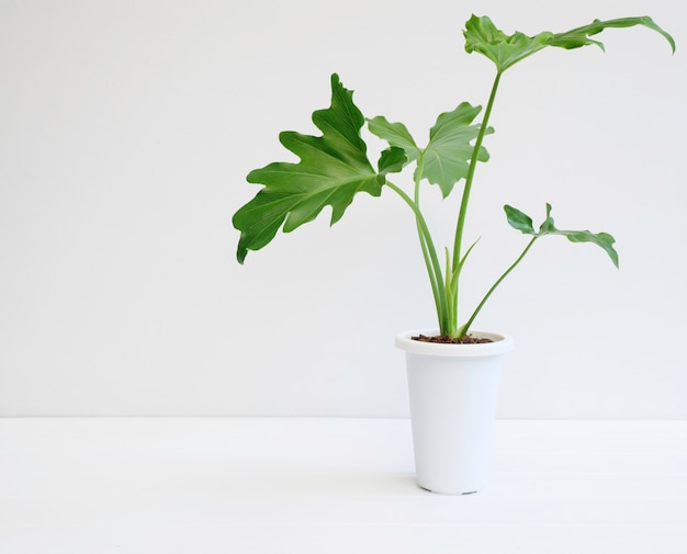 Philodendron selloum botaniczna roślina tropikalna w nowoczesnym białym garnku na białym drewnianym stole i powierzchni ściany cementowej, egzotyczny kształt serca pozostawia roślinę do wnętrza
