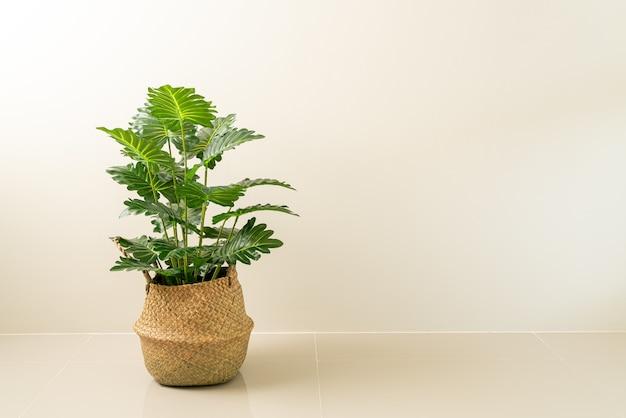 Philodendron xanadu chorwacki w wiklinowym koszu doniczkowym ze ścianą