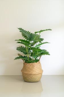 Philodendron xanadu chorwacki w wiklinowym koszu doniczkowym