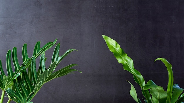 Philodendron xanadu roślina liść tropikalny