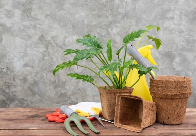 Philodendron xanadu w doniczce z włókna kokosowego na drewnianym stole