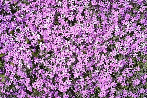Phlox subulata lub płożące kwiaty floksów rosnące na dalekim wschodzie rosji