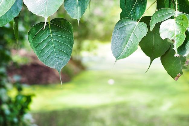 Pho lub bodhi (ficus religiosa l.) odejść w świetle poranka.