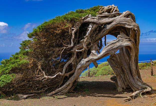 Phoenicean jałowiec (juniperus phoenicea canariensis), z niebieskim niebem i niektórymi chmurami w tle, el sabinar, frontera, el hierro, wyspy kanaryjskie, hiszpania