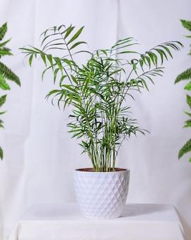Phoenix canariensis, canary island date palm w białym garnku
