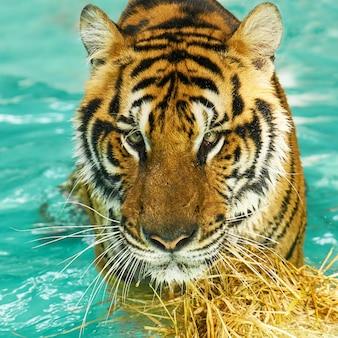 Phuket majestatyczny charakter zwierząt wściekła