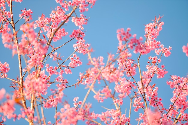 Phulomlo zakura sezon różowy kwiat wiśni w tajlandii
