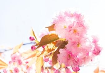 Piękna różowa Sakura.