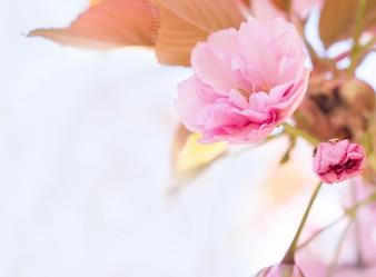Piękna wiśnia.