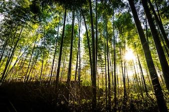 Piękny krajobraz bambusowy gaj w lesie przy Arashiyama Kyoto