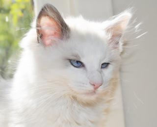 Piękny ragdoll kociak