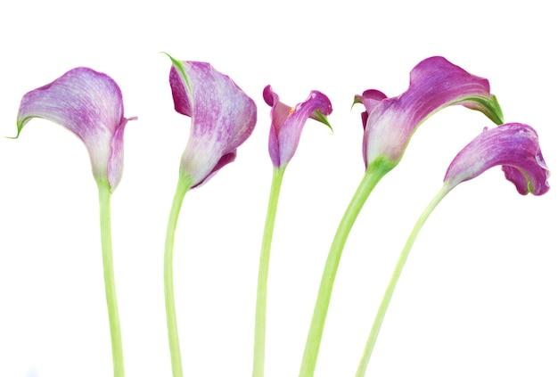Pięć fioletowych kwiatów calla lilly na białym tle