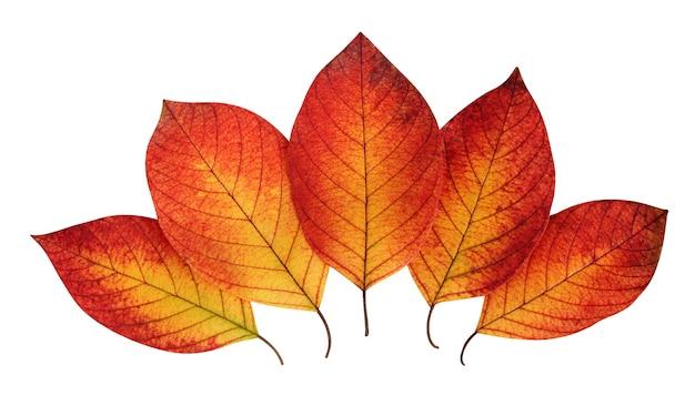 Pięć jesiennych liści na białym tle ze ścieżką przycinającą. czerwono-żółte liście kruszyny.
