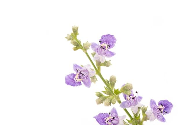Pięć liściaste czyste drzewo lub kwiaty vitex negundo na białym tle.