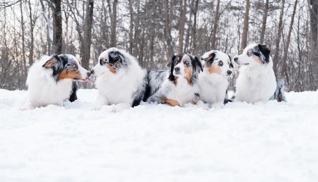Pięć młodych śmieszne piękne owczarki australijskie merle psy leżące w zimowym lesie.