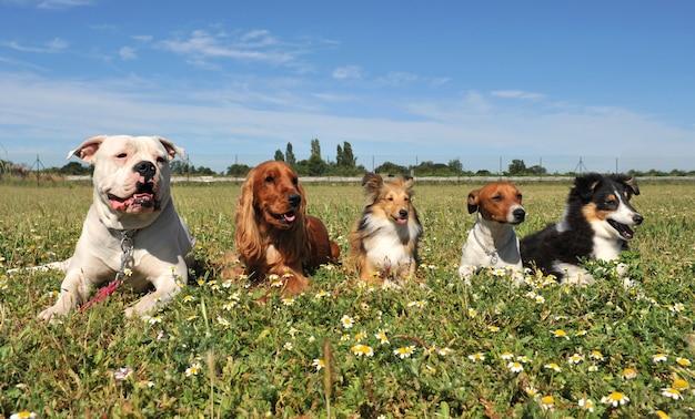 Pięć psów