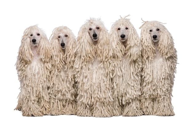 Pięć standardowych pudrów z białymi sznurkami. portret psa na białym tle