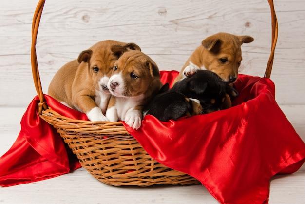 Pięć szczeniaków basenji w koszyku z czerwonego materiału