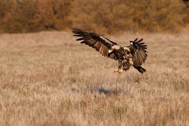 Pięcioletnia samica latającego hiszpańskiego orła cesarskiego, aquila adalberti