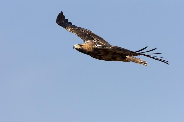 Pięcioletnia suczka hiszpańskiego orła cesarskiego. aquila adalberti