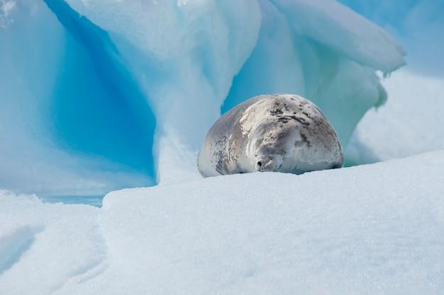 Pieczęć kraba na lodzie, antarktyda