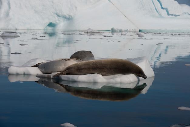 Pieczęć krabowa w wodzie na antarktydzie