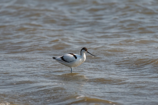 Pied avocet recurvirostra avosetta stoi w wodzie.