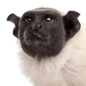 Pied długouszka odizolowywająca na bielu
