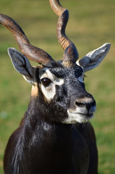 Piękna antylopa blackbuck (antilope cervicapra)
