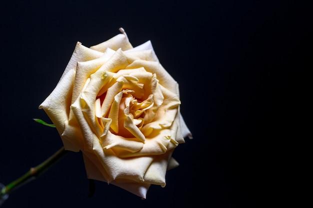 Piękna beżowa róża z kwitnącymi płatkami na rozmytym ciemnym tle