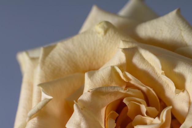 Piękna beżowa róża z kwitnącymi płatkami na rozmytym szarym tle