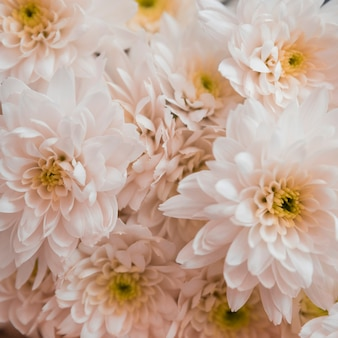 Piękna biała chryzantema jako tło
