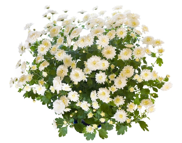 Piękna biała chryzantema w doniczce na białym tle