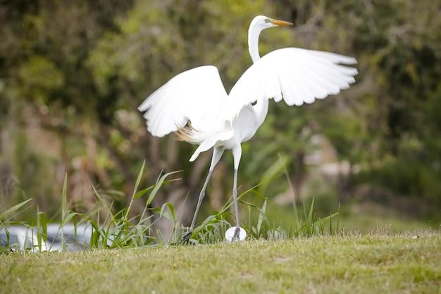 Piękna biała czapla na brzegu jeziora polująca na ryby