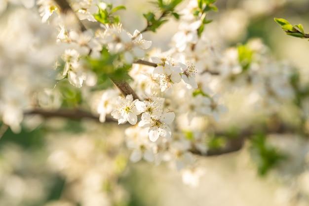 Piękna biała gałąź z śliwką i jabłkiem kwitnie w ranek wiosny ogródzie.
