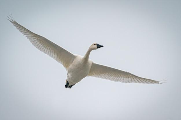 Piękna biała gęś latająca