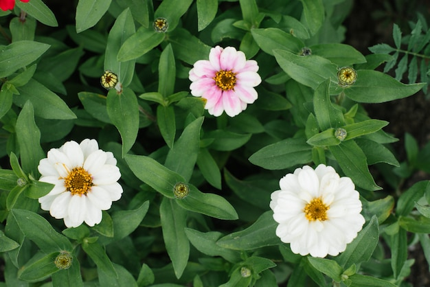 Piękna biała i miękka różowa cynia w letnim ogrodzie. widok z góry
