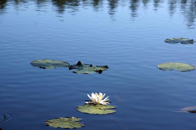 Piękna biała lilia wodna zakwitła na środku błękitnego jeziora