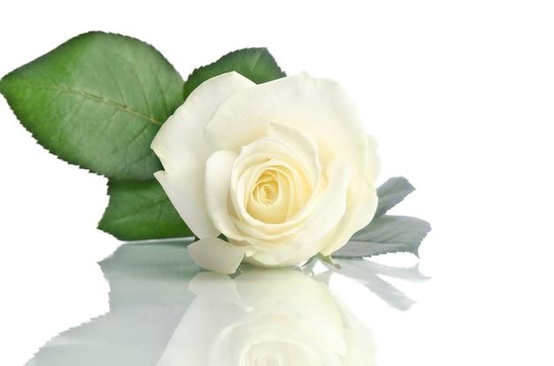 Piękna biała róża na białym tle