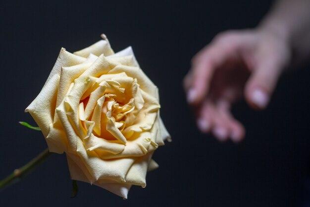 Piękna biała róża z kwitnącymi płatkami