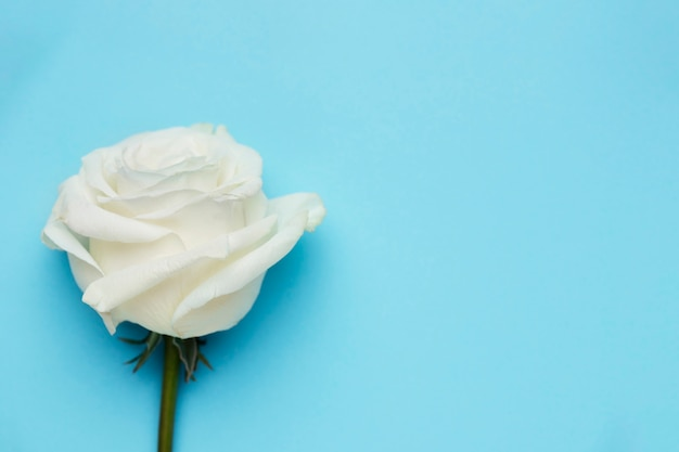 Piękna biała róża z miejsca kopiowania