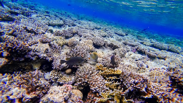 Piękna biała ryba z czerwonymi oczami pływa w pobliżu koralowców morza czerwonego w poszukiwaniu pożywienia