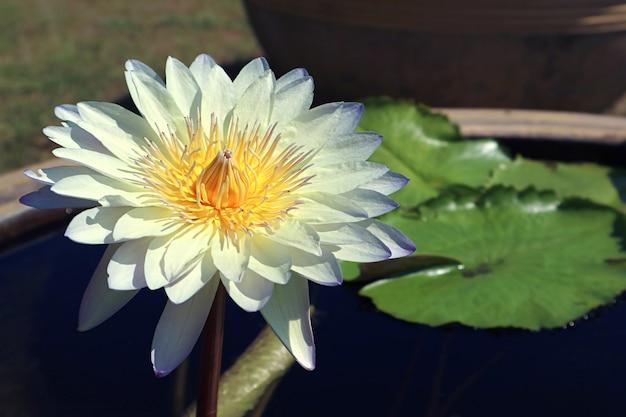 Piękna bladoniebieska lilia wodna nymphaea caerulea kwitnąca w słońcu