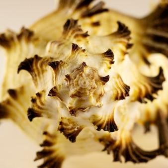 Piękna brązowa biała muszla morska na białym tle. fotografia artystyczna. selektywne skupienie.