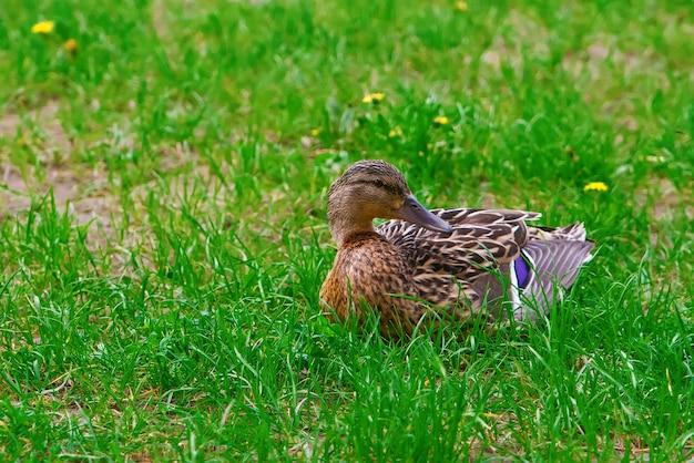 Piękna brązowa kaczka na zielonej trawie