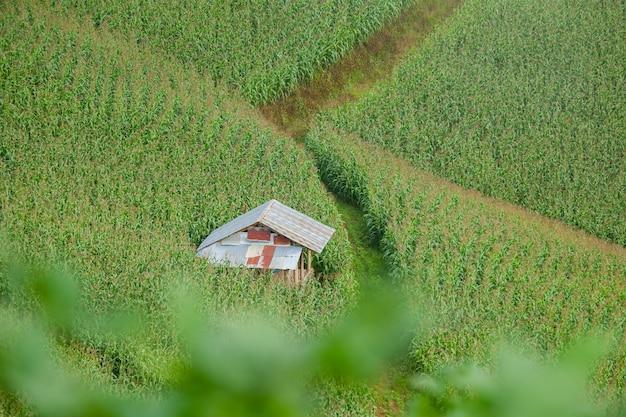Piękna chata wśród pól kukurydzy na wzgórzu podczas zielonej pory roku