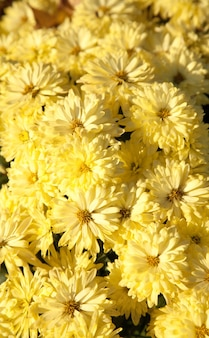 Piękna chryzantema kwiat jesień